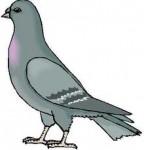 sehiaud-pigeon.jpg